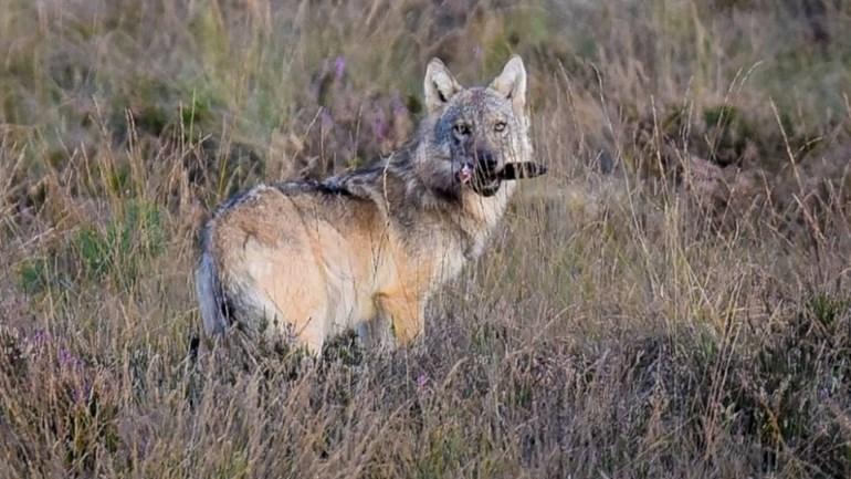 Hoe verder met de wolf in Gelderland?